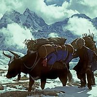 NEPAL, HIMALAYA. Young Sherpa with dzos (yak - cattle cross) carrying loads to Mount Everest, Khumbu region. 6,623m (21,729')  Thamserku bkg.
