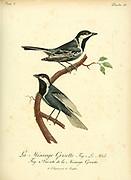 MESANGE GRISETTE Gray Tit from the Book Histoire naturelle des oiseaux d'Afrique [Natural History of birds of Africa] Volume 3, by Le Vaillant, François, 1753-1824; Publish in Paris by Chez J.J. Fuchs, libraire 1799 - 1802
