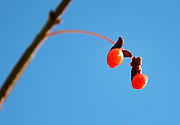 Two red Burning Bush berries (Euonymus alata) against a deep blue sky, Bar Harbor, Maine.