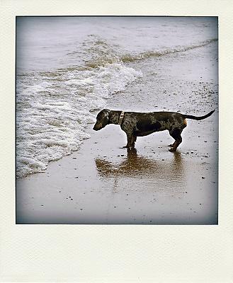 Nederland, Gendt, 10-8-2012Onze tekkel Teun is een half jaar en niet bang voor water. Hij heeft grijze tekening in de vacht en dat maakt hem een beetje bijzonder.Foto: Flip Franssen/Hollandse Hoogte