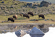 Bison cows and newborn calves near pond. American Bison (Buffalo) in habitat