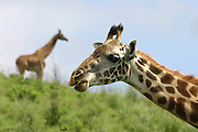 Two giraffes one in focus and one out of focus at Tarangire National Park, United Republic of Tanzania, Tarangire Park is located about 120km from Arusha, south east of Manyara.