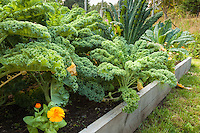 Different types of kale grow in raised beds in an organic garden.