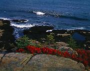 Raft of common eiders in surf of Acadia Natonal Park, Maine.
