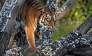 Tigers Close Up