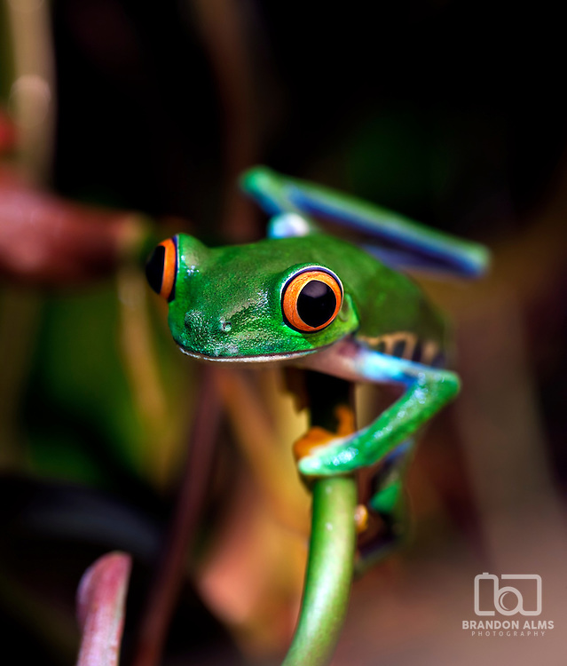 A closeup of a Red Eyed Tree Frog (Agalychnis callidryas) in its tropical setting.