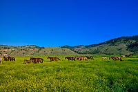 Quarter horses in a field of sweet clover, Hell's Canyon, Black Hills Wild Horse Sanctuary, near Hot Springs, Black Hills, South Dakota USA
