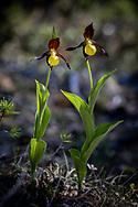 VIKEKÄRRET 2020<br /> Guckusko.<br /> Bilder från orkidéepromenad i Vikekärret på Rödön.<br /> Foto:Per Danielsson/Projekt.P