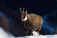 17.11.2008.Chamois (Rupicapra rupicapra). Walking..Gran Paradiso National Park, Italy