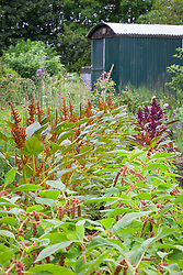 Amaranthus in the cutting garden. A. 'Hot Biscuit', A. 'Coral fountain' and A. 'Hopi Red Dye'