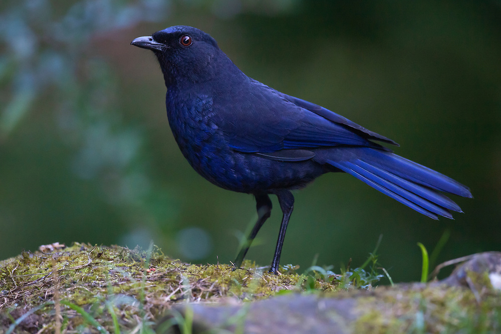 The Taiwan whistling thrush, also known as the Formosan whistling thrush, Myophonus insularis, Endemic species, Dasyueshan Forest Recreational Area, Taiwan