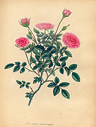 ROSA nana, minor; Var. aequalifiera, Small Dwarf Rose ; Equal-flowered Variety. From the book Roses, or, A monograph of the genus Rosa : containing coloured figures of all the known species and beautiful varieties, drawn, engraved, described, and coloured, from living plants. by Andrews, Henry Charles, Published in London : printed by R. Taylor and Co. ; 1805.
