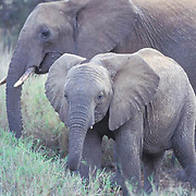 African Elephant, (Loxodonta africana)  Adult and young. Kenya, Africa.