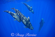 adult and juvenile short-finned pilot whales, Globicephala macrorhynchus, swimming in open ocean, Kona, Hawaii ( the Big Island ), U.S.A. ( Central Pacific Ocean )