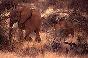 Mother and young elephant in Samburu Game Reserve, Kenya