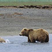 Alaskan Brown Bear, (Ursus middendorffi) Mother with young cub running through water, Katmai National Park, Alaska.