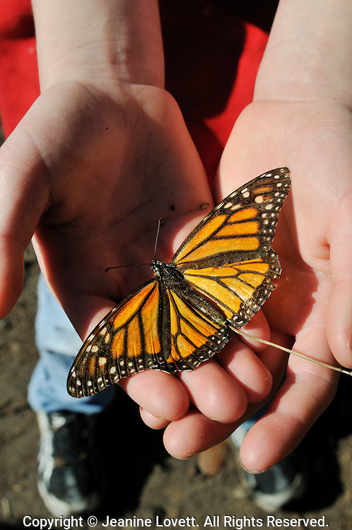 close-up of monarch butterfly in a girl hands.