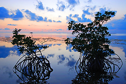 Blue hour is near. Red Mangrove trees form silhouettes against a pastel sky. The colors transform from pastel orange and reds to pink and blues in a few minutes. The mangroves are important storm buffers and provide habitat for many birds and underwater communities.