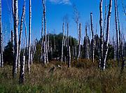 Paper birch snags, Tettegouche River State Park, Minnesota.
