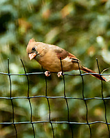 Northern Cardinal. Image taken with a Nikon 1 V3 camera and 70-300 mm VR lens,