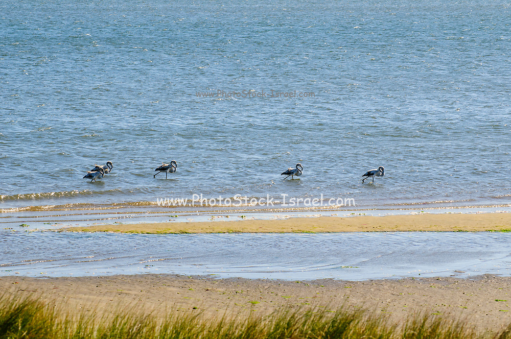 a flock of flamingoes at Aveiro Lagoon along the EuroVelo 1 cycling route in Portugal This route runs along the Atlantic coast from Northern Europe to The south tip of Portugal
