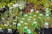 Potted herb plants on sale at Katie's nursery, Newbourne, Suffolk, England