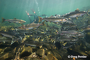 Eiko Jones photographs pink salmon, humpback salmon, or humpies, Oncorhynchus gorbuscha, swimming upriver to spawn, Campbell River, Vancouver Island, BC, Canada<br /> MR 461