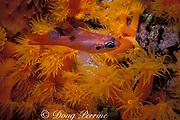 flamefish or spotted cardinalfish, Apogon maculatus,  <br /> and orange cup coral, Tubastrea aurea, at night<br /> Bonaire, Netherlands Antilles ( Caribbean Sea )
