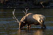 Bull elk drinking from river