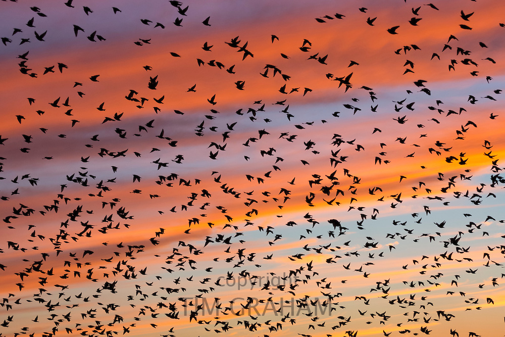 Spectacular sunset murmuration of starlings, thousands of birds in flight to roost in Somerset Levels marshes, UK