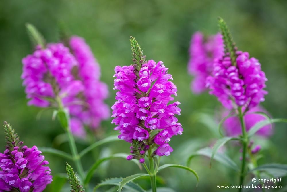 Physostegia virginiana 'Vivid' AGM - Obedient plant