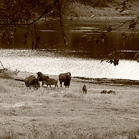 A herd of Bison take some time at Horseshoe lake