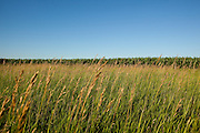 An image if a grown over pasture with a July Minnesota farmers corn field in the background.