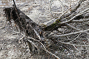 dislodged and dried up dead tree stump