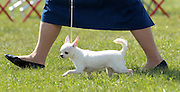 Truely, a smooth smooth coat chihuahua, stands tall between the legs of owner Pat Schwab during the Charlottesville-Albemarle Kennel Club Dog Show Saturday at Foxfield in Charlottesville, VA. A separate dog show continues on Sunday with a special police dog demonstration at 1 p.m. Photo/Andrew Shurtleff