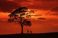 Red deer, cervus elaphus, stag and hind at dusk, Cheshire, UK