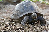 Tortoise 2 Seychelles