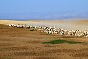 Israel, Negev desert, Bedouin shepherd and his herd sheep
