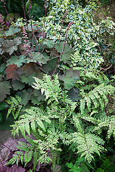 Athyrium otophorum var. okanum AGM (Eared lady fern) with Heuchera 'Bronze Beauty' and Hedera helix 'Cavendishii Latina'
