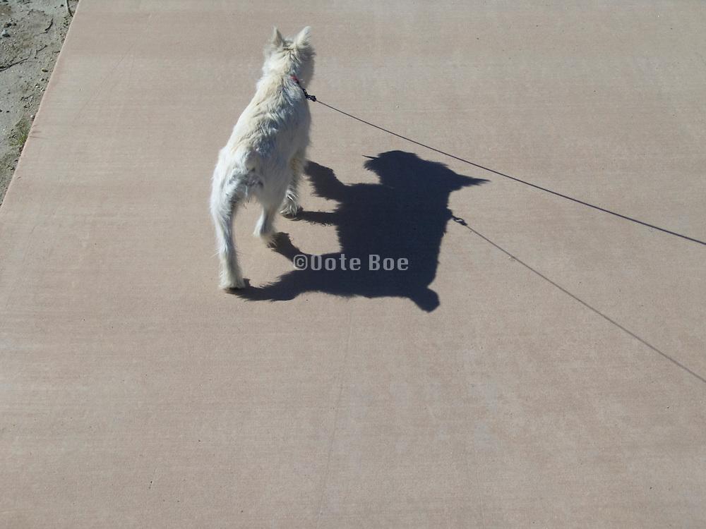 dog on leash walking on pavement
