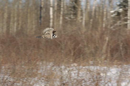 Northern Hawk-Owl (Surnia ulula) In flight. Northern Minnesota. January. Winter.