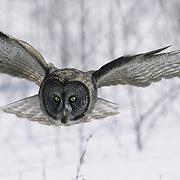 Great Gray Owl (Strix nebulosa) adult in flight, hunting. Canada