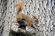 American red squirrel (Tamiasciurus hudsonicus) in a Norway Maple tree (Acer platanoides).