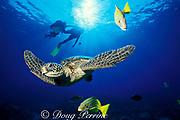 green sea turtle, Chelonia mydas, with divers and <br /> bluestripe snapper or ta'ape, Lutjanus kasmira,<br /> Kona, Hawaii ( Pacific )