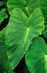 Colocasia esculenta syn. C. antiquorum - Coco-yam, Dasheen, Taro