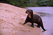 Giant Otter on River Bank<br />Pteronura brasiliensis<br />Rupununi, GUYANA. South America<br />RANGE; East of Andes, Colombia, Venezuela, Guyana to Argentina