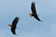 Two Bald Eagles having a confrontation while both are soaring(Haliaeetus leucocephalus) (Halietus leucocephalus) soars  along Hood Canal in Puget Sound, Washington state, USA