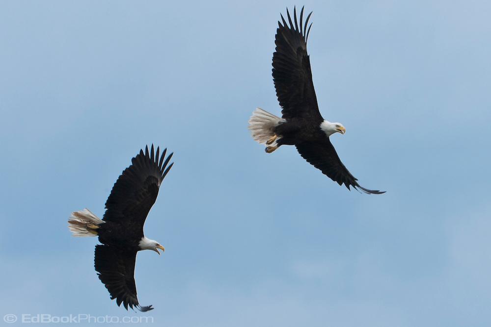 Two Bald Eagles having a confrontation while both are soaring(Haliaeetus leucocephalus) (Halietus leucocephalus) soars  along Hood Canal in Puget Sound, Washington state, USA
