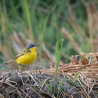 The eastern yellow wagtail (Motacilla tschutschensis) is a small passerine in the wagtail family Motacillidae, which also includes the pipits and longclaws.