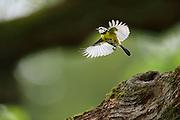 The blue tit (Parus caeruleus) has its nest in a small tree hollow in the oak branch. Flying. National Park Saxon Switzerland (Saechsische Schweiz), Germany. | Die Blaumeise (Parus caeruleus) hat ihr Nest in einer kleinen Baumhöhle in dem Eichenast.